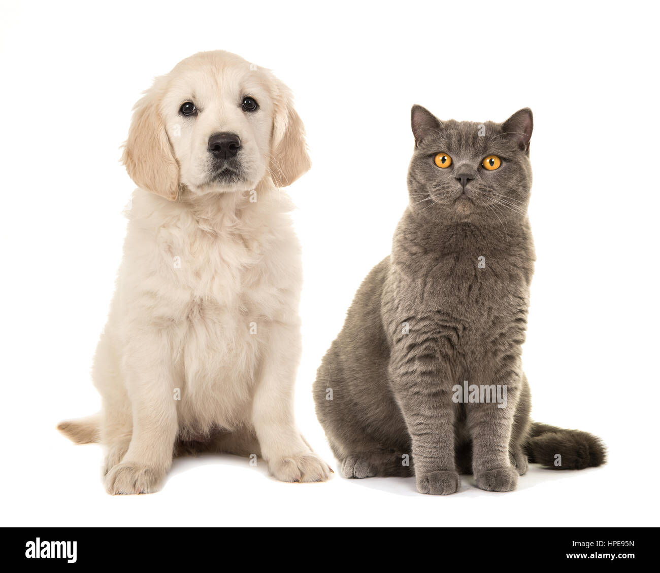 Blond Golden Retriever Puppy Dog And Grey British Short Hair Cat Stock Photo Alamy
