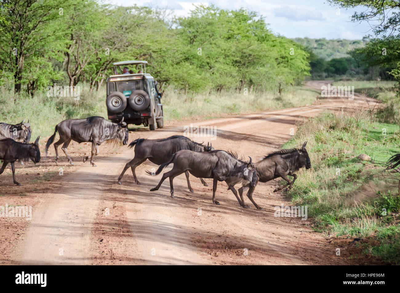 Wildebeests traversing the road in Serengeti, Tanzania - Stock Image