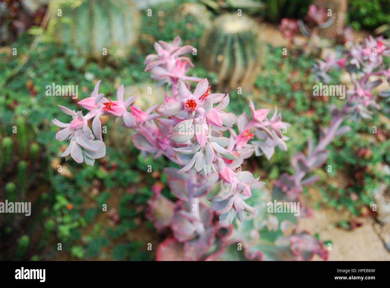 Echeveria 'Takasago No Okina' succulents bloom. Decorative plant. - Stock Image