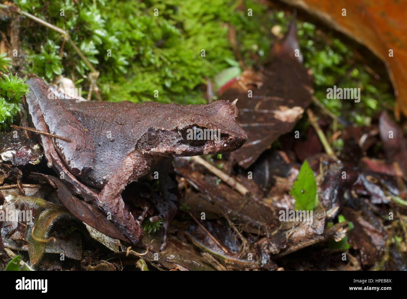 A Slender-legged Horned Frog (Xenophrys longipes) in the leaf litter in Fraser's Hill, Pahang, Malaysia - Stock Image
