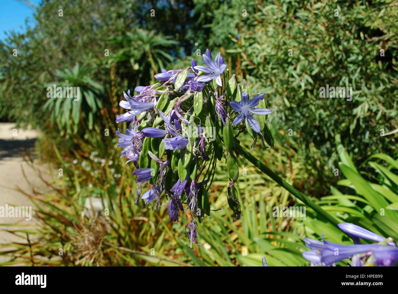 Lily of the Nile (Agapanthus praecox subsp. praecox 'Azure') bloom. Blue flowers. Stock Photo