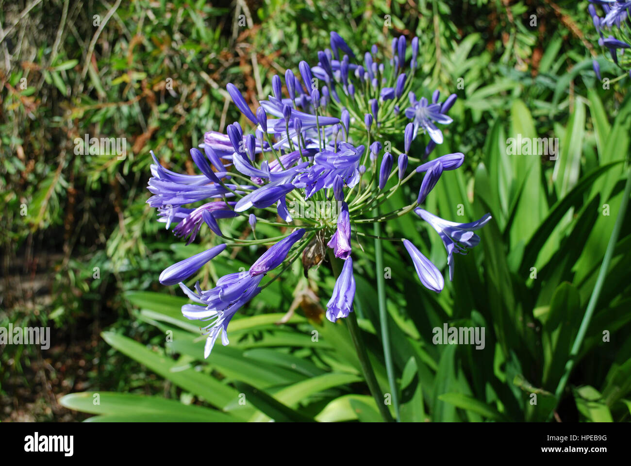 Lily of the nile agapanthus praecox subsp praecox azure bloom lily of the nile agapanthus praecox subsp praecox azure bloom blue flowers izmirmasajfo