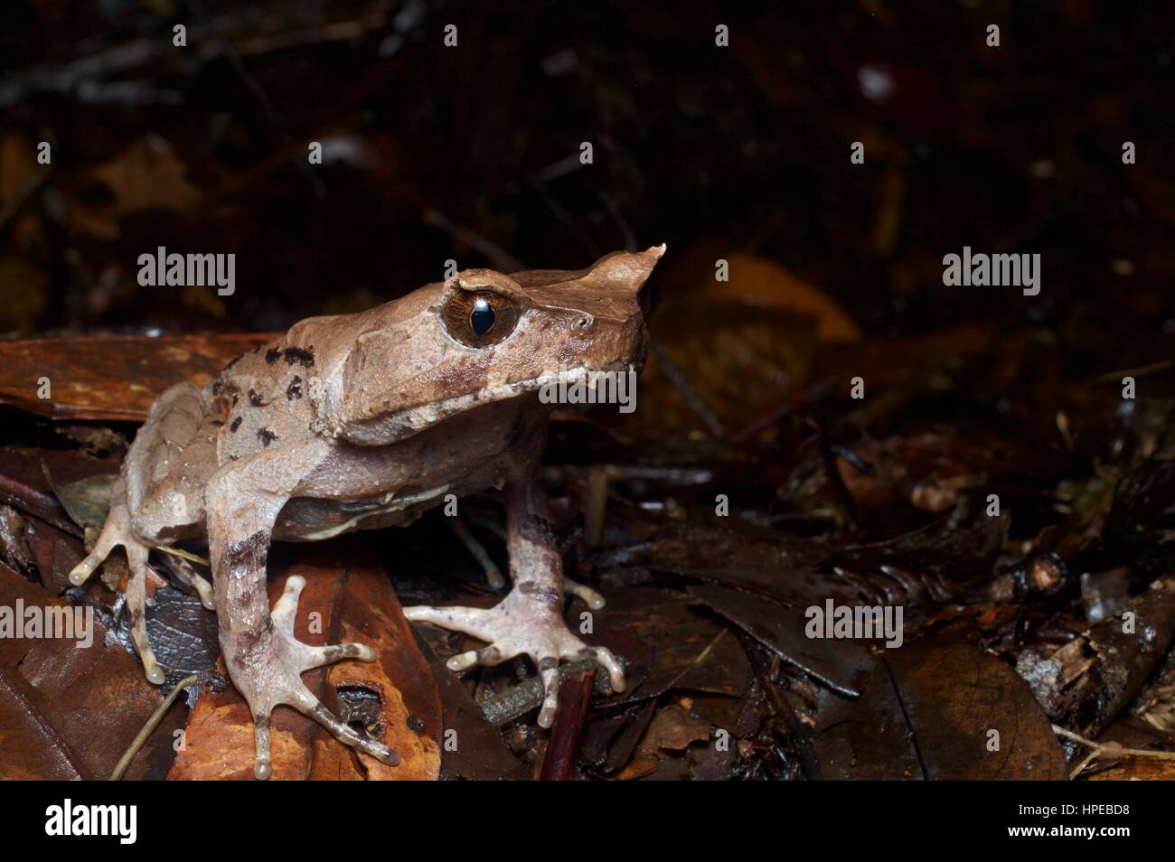 A grumpy-looking Perak Horned Frog (Xenophrys aceras) in Fraser's Hill, Pahang, Malaysia - Stock Image