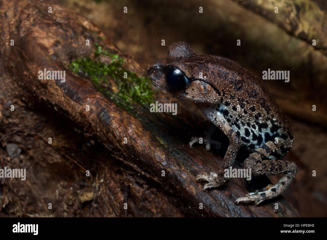 An Inger's Black-eyed Litter Frog (Leptobrachium ingeri) in Santubong National Park, Sarawak, East Malaysia, - Stock Image