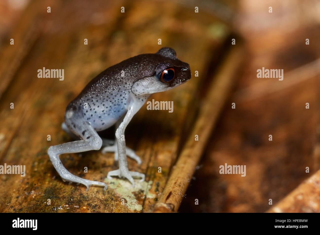 A Spotted Litter Frog (Leptobrachium hendricksoni) on the forest floor at night in Ulu Semenyih, Selangor, Malaysia Stock Photo