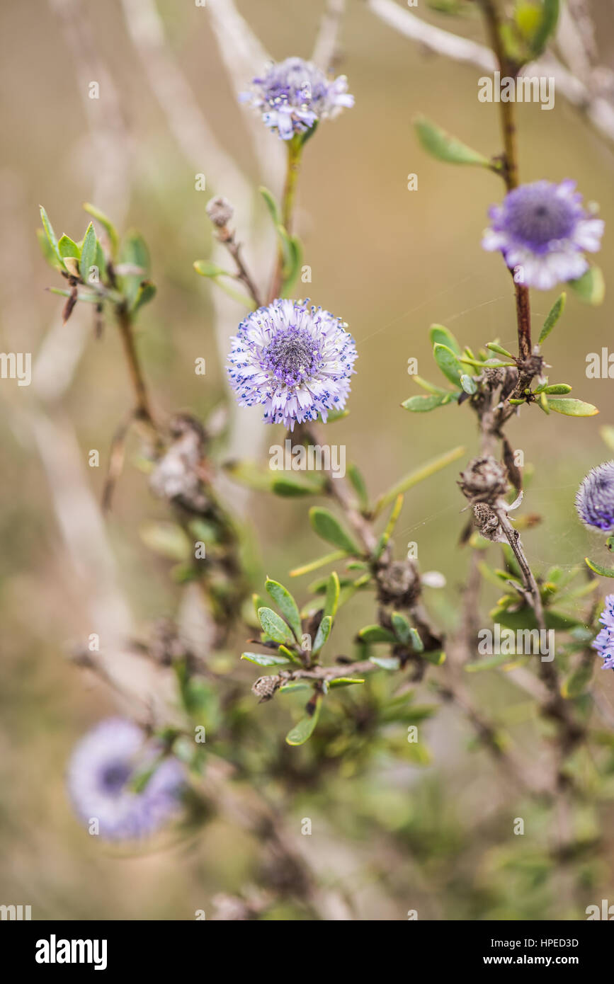 Spanish spring plants blosssom with violet flowers Stock Photo