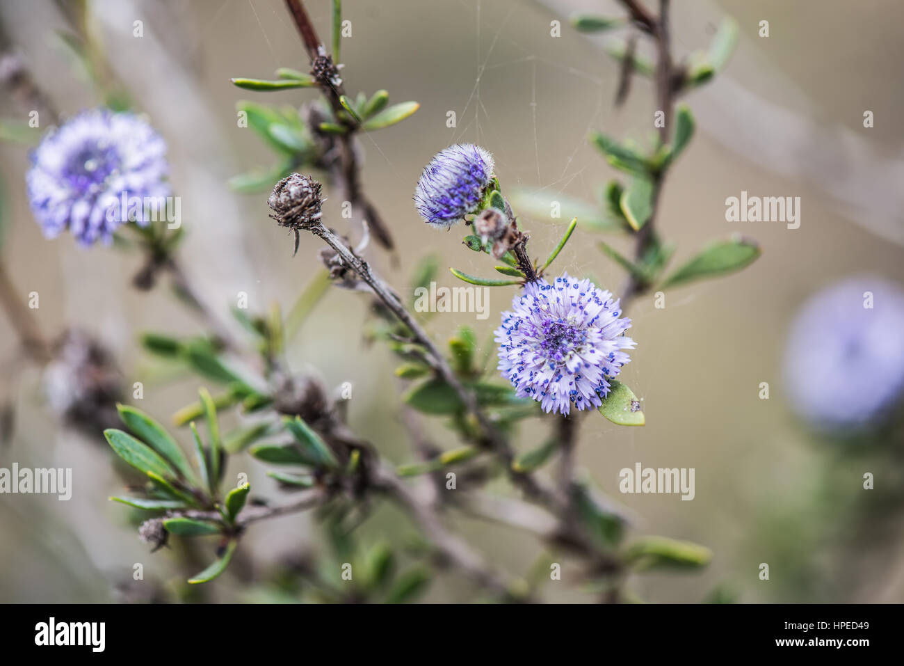 Spanish spring plants blosssom with violet flowers - Stock Image