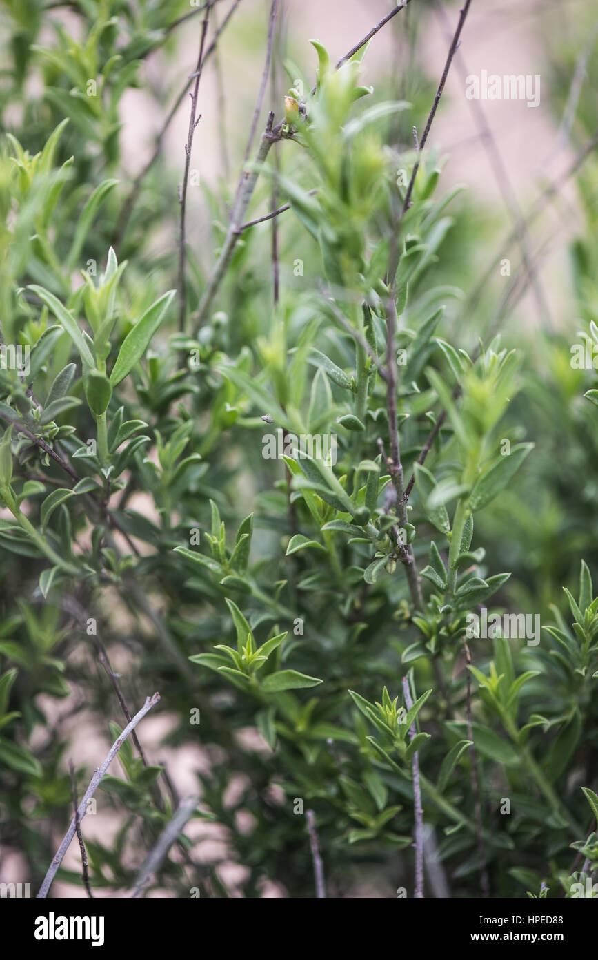 Deep green spainish plants in Fabruary - Stock Image