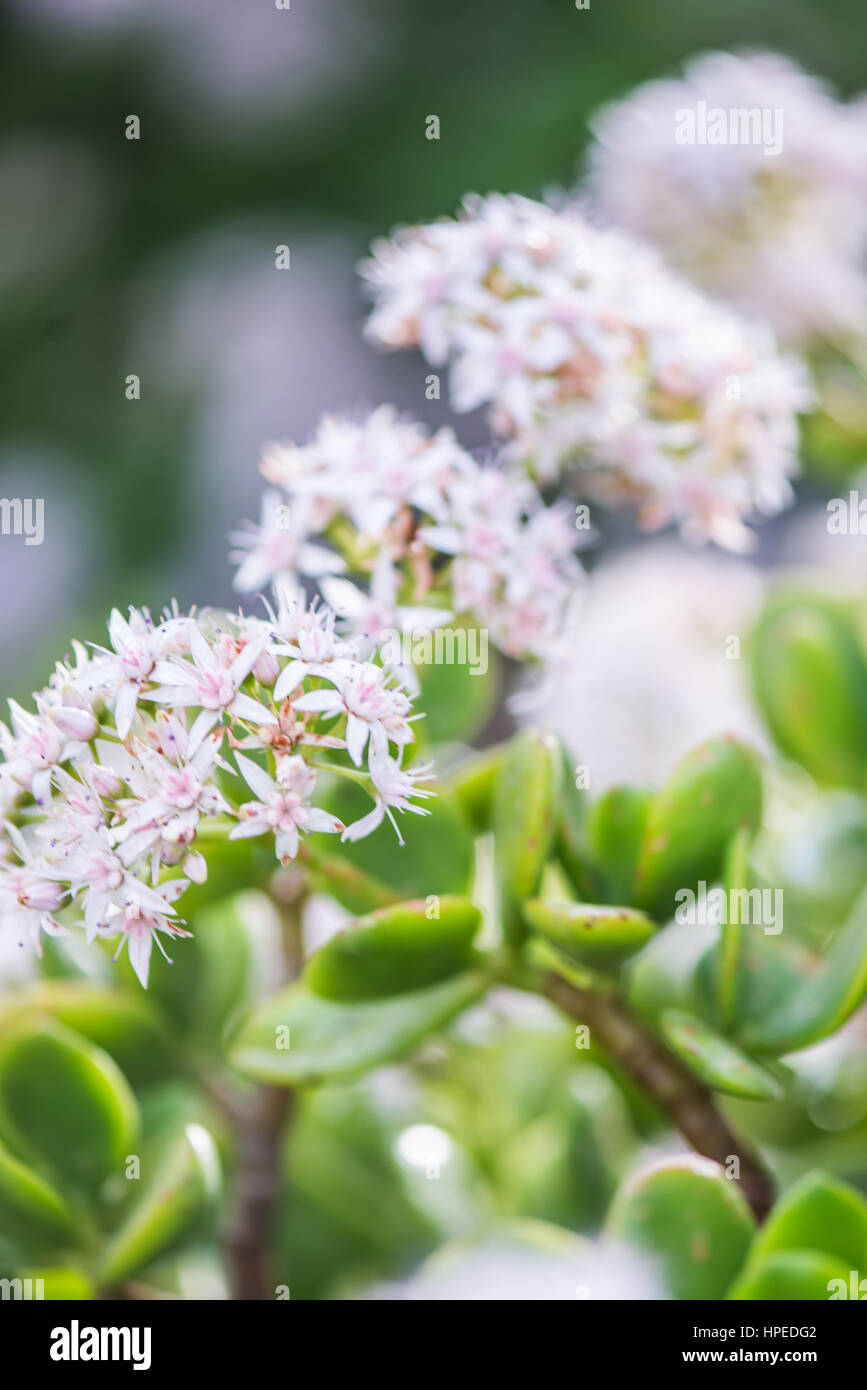 Delicate spanish spring flowers blossom with soft focus - Stock Image