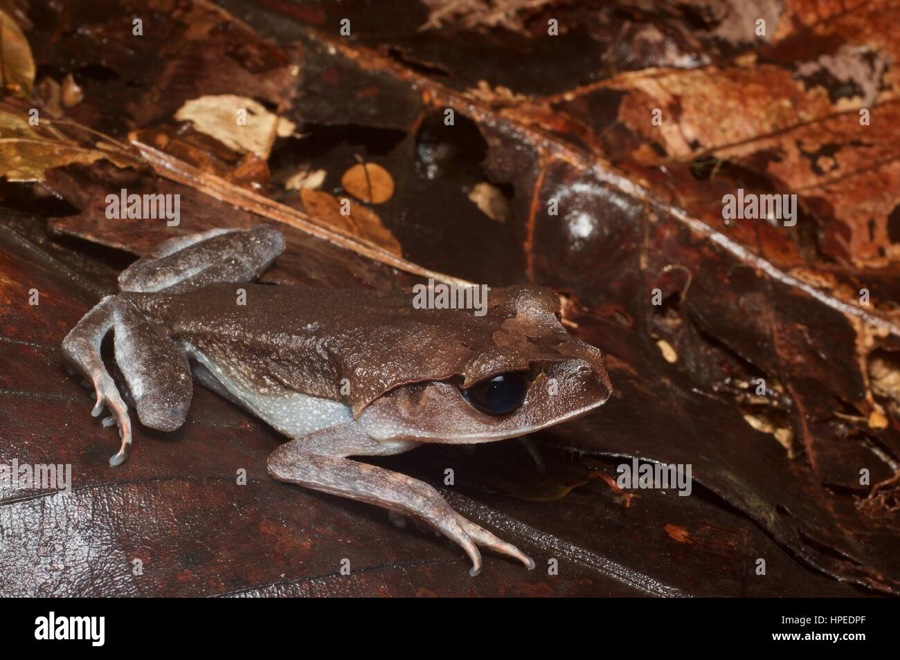 A Lowland Litter Frog (Leptobrachium abbotti) hunkered down at Kubah National Park, Sarawak, East Malaysia, Borneo - Stock Image