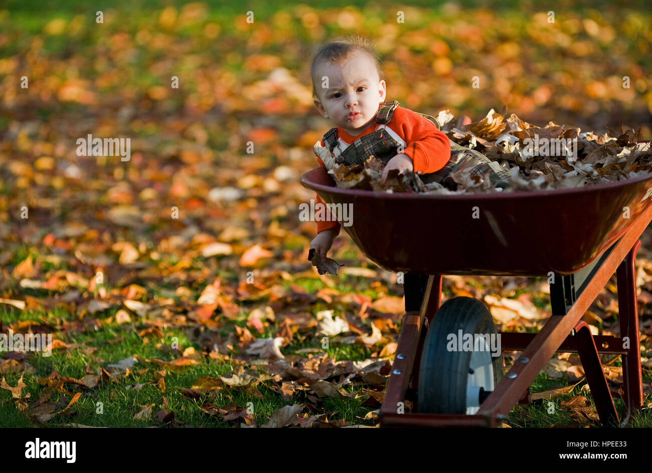 6 month old boy leans over the side of a wheelbarrow among colorful autumn leaves. - Stock Image
