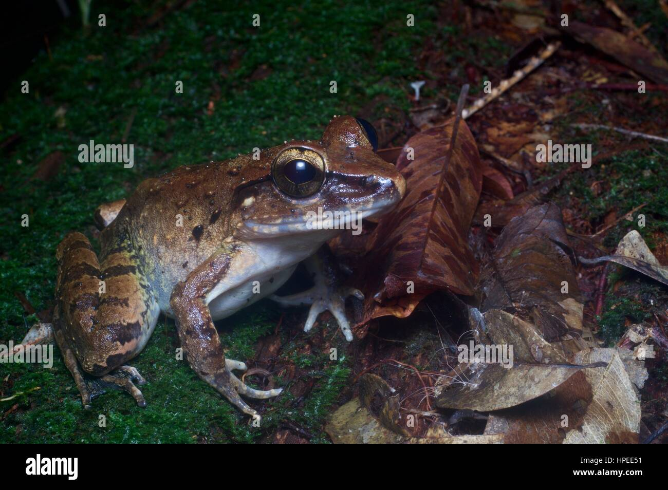 A Giant River Frog (Limnonectes leporinus) in the rainforest at night in Kubah National Park, Sarawak, Borneo - Stock Image