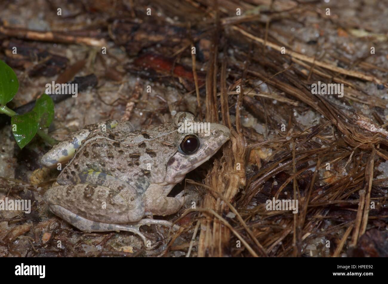 An Asian Grass Frog (Fejervarya limnocharis) in the rainforest at night in Ulu Semenyih, Selangor, Malaysia - Stock Image