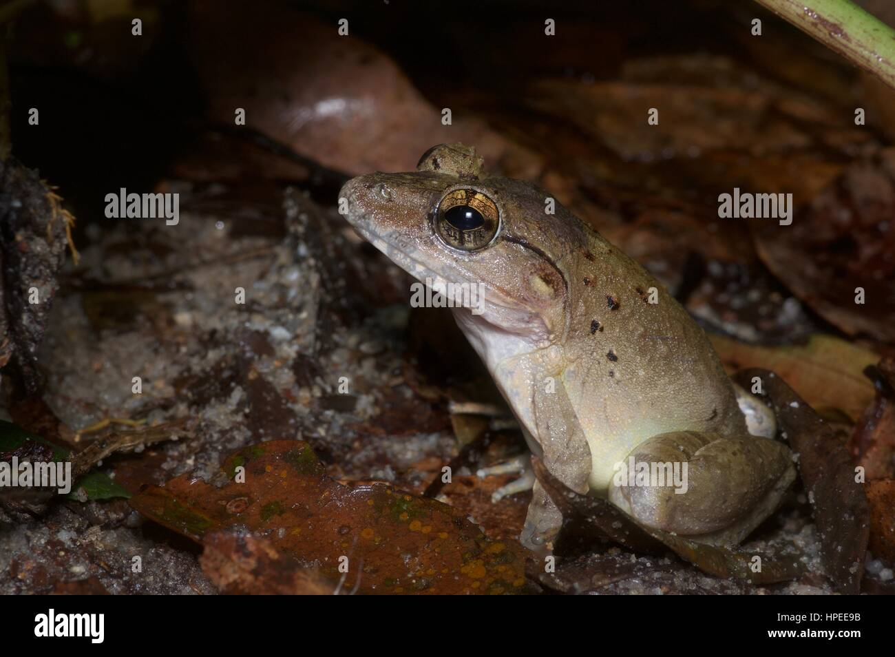 A Giant River Frog (Limnonectes blythii) in the rainforest at night in Semenyih, Selangor, Malaysia - Stock Image