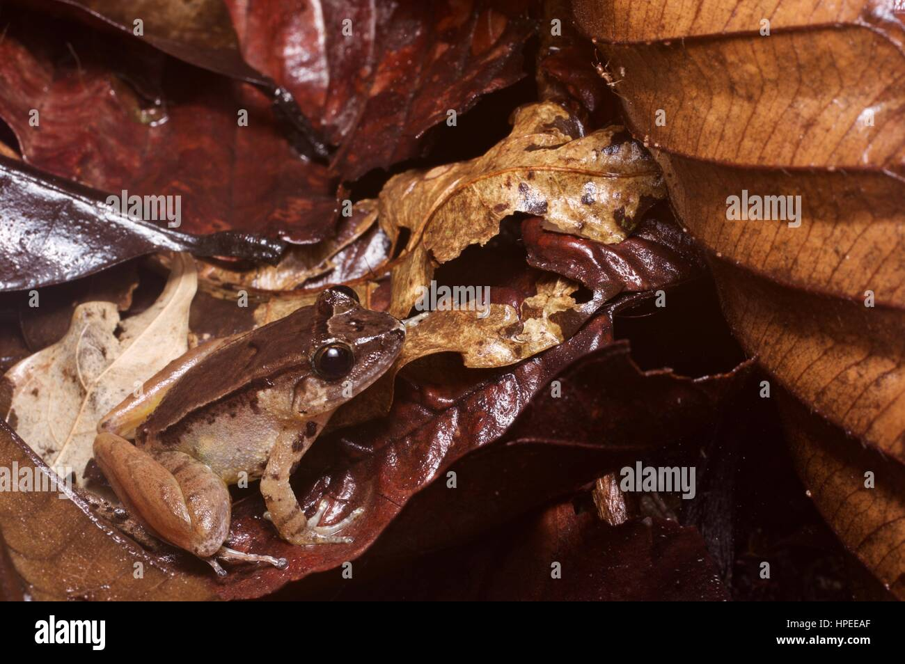 A Smooth Guardian Frog (Limnonectes palavanensis) in the rainforest leaf litter at Kubah National Park, Sarawak, - Stock Image