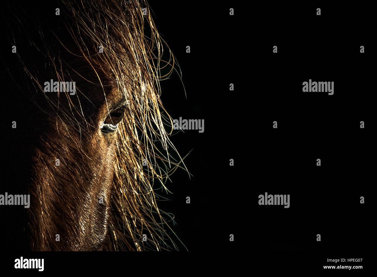 Wild Stallion Close Up at Sunrise - Stock Image