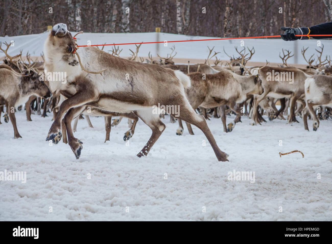 Reindeer herd, Reindeer herding, The Laponian Area, a World Heritage Location, Northern Sweden Stock Photo