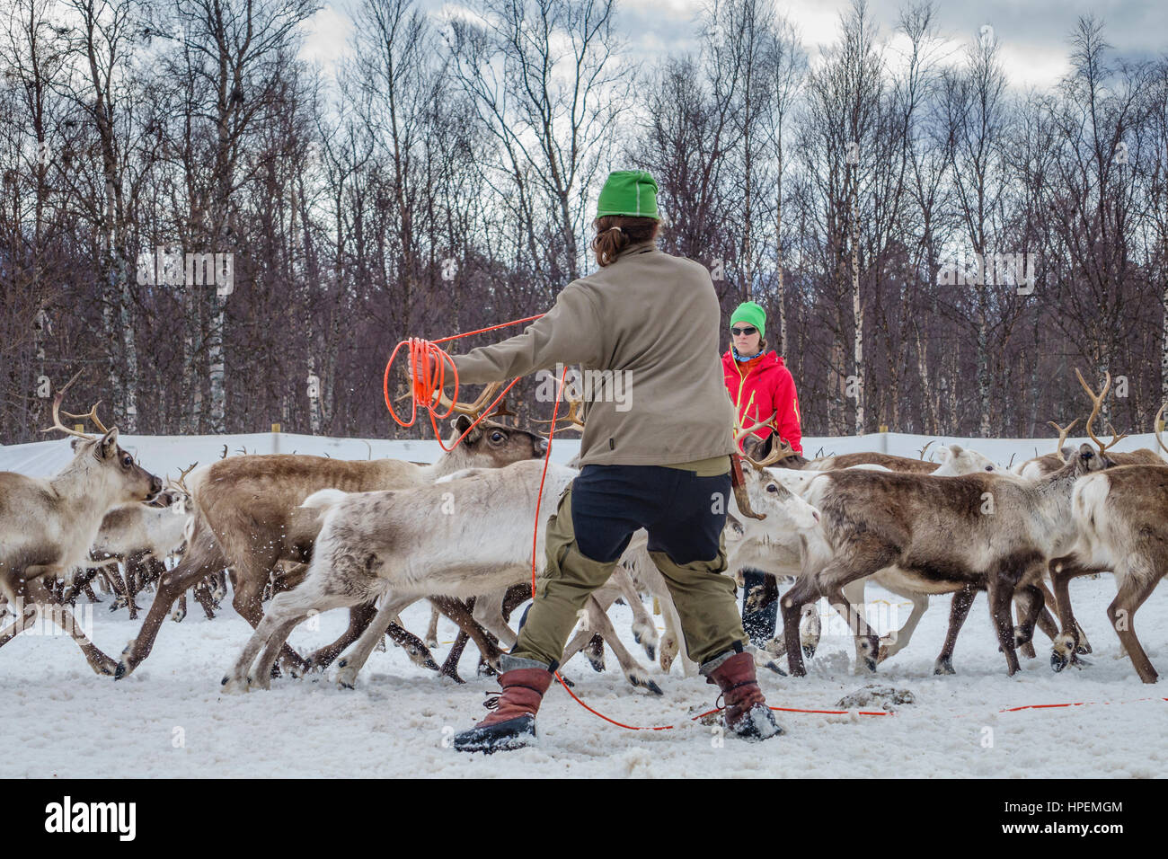Reindeer Herding, The Laponian Area, a world heritage location, Northern Sweden - Stock Image