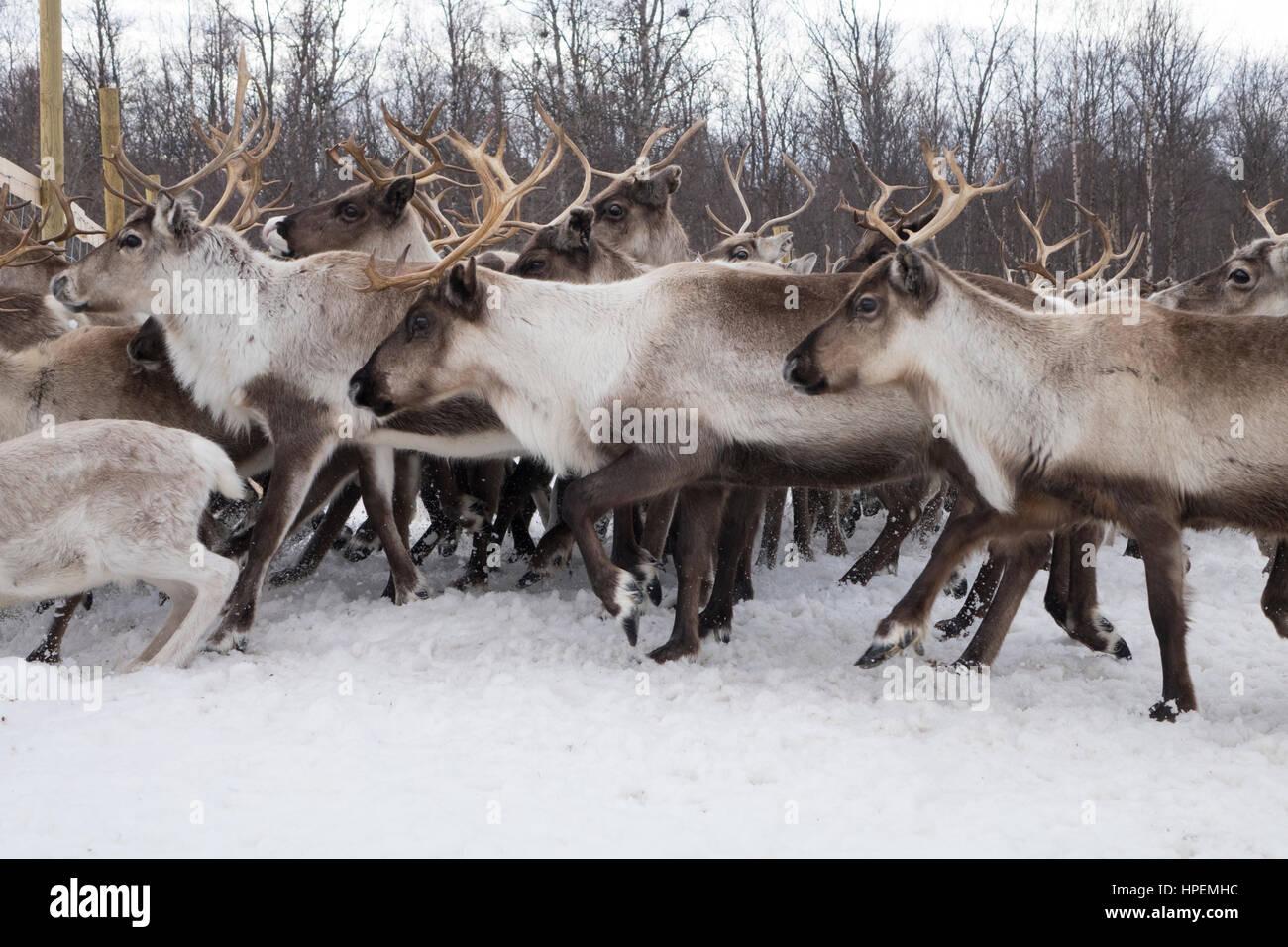 Reindeer herd, Reindeer herding, The Laponian Area, a World Heritage Location, Northern Sweden - Stock Image