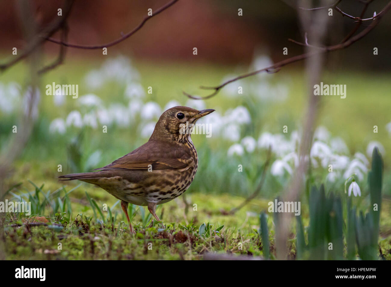 Song thrush in snowdrops, UK - Stock Image