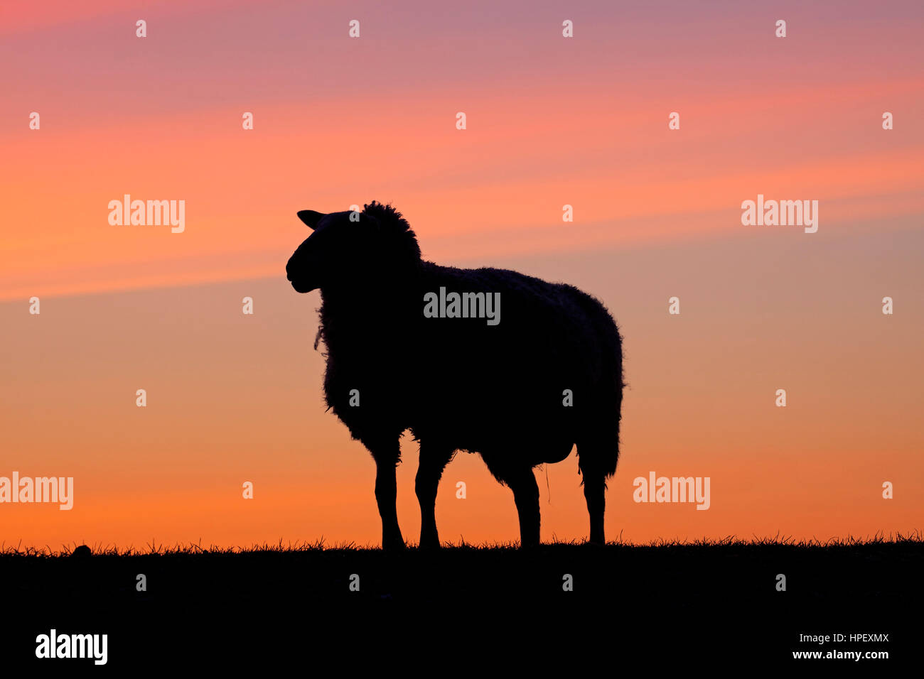 East Friesian / Ostfriesische Milchschaf, breed of dairy sheep silhouetted against sunset, Germany - Stock Image