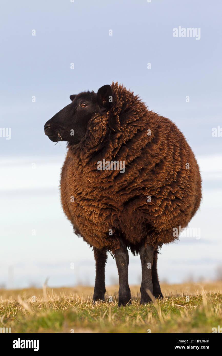 East Friesian / Schwarz-Braun Ostfriesische Milchschaf, breed of dairy sheep originating from East Frisia in northern - Stock Image