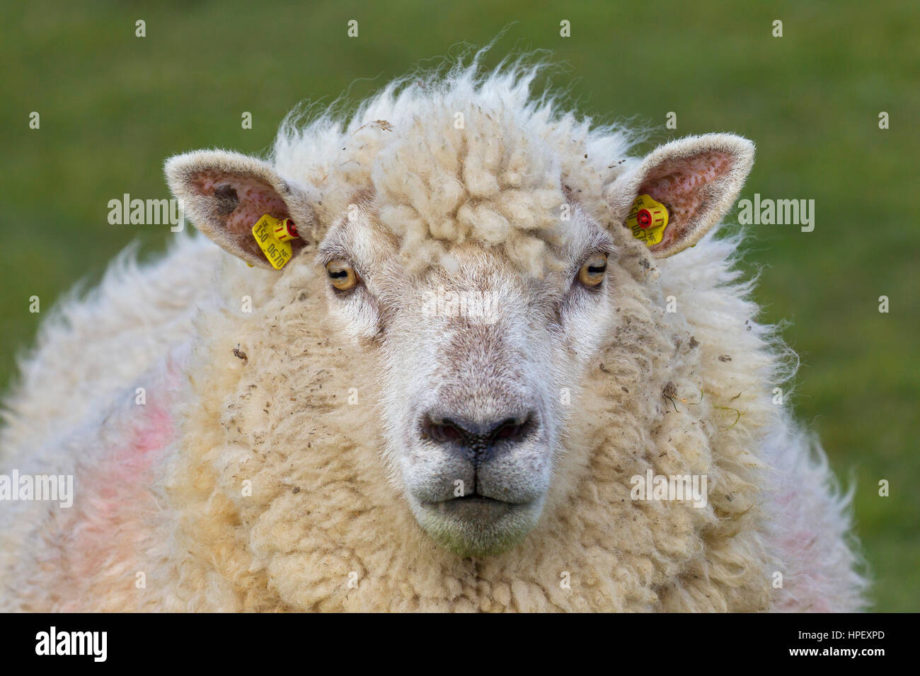 Close up of tagged white sheep ewe with two yellow eartags / ear marks Stock Photo