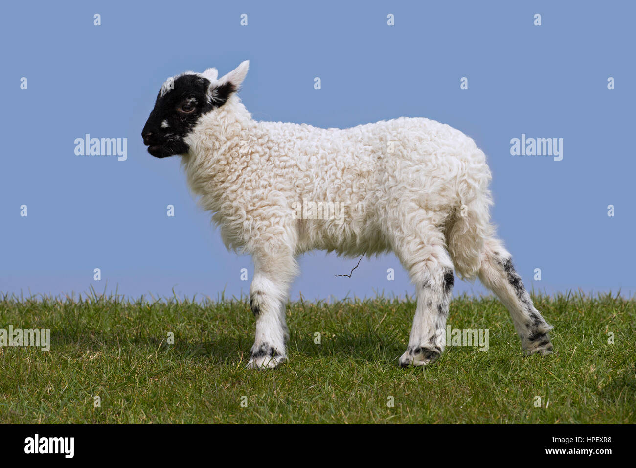 Black and white domestic sheep lamb in meadow, North Frisia, Schleswig-Holstein, Germany - Stock Image
