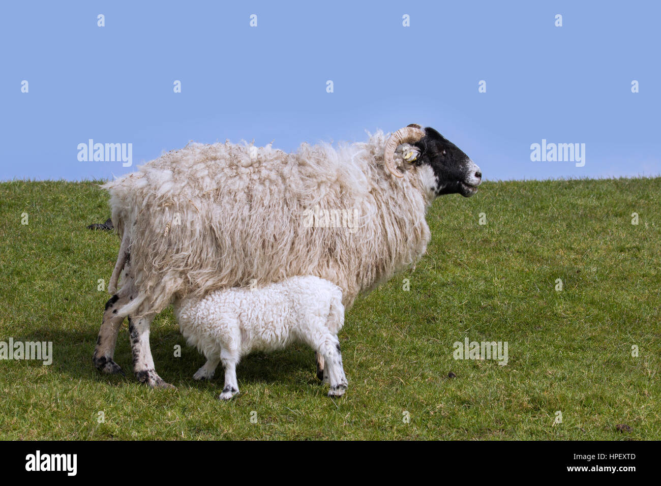 Domestic sheep ewe with suckling lamb in meadow - Stock Image