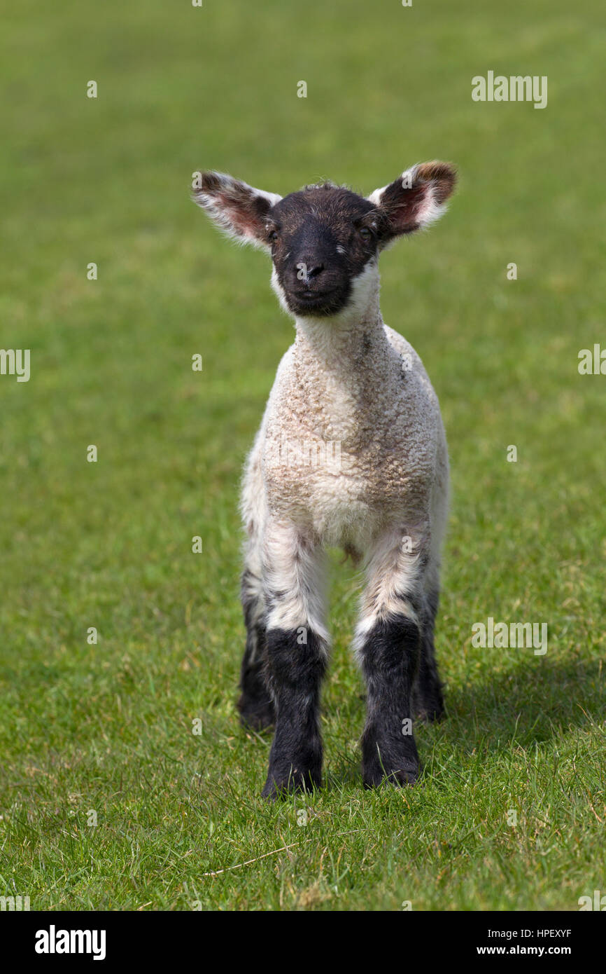 Black and white domestic sheep lamb in meadow, North Frisia, Schleswig-Holstein, Germany Stock Photo