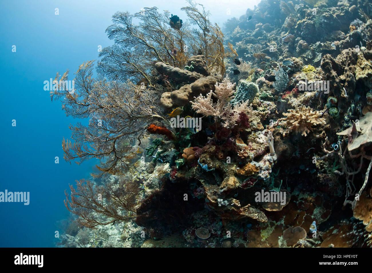 Coral reef in front of Menjangan, sea fan, Mopsella sp, Bali, Asia - Stock Image