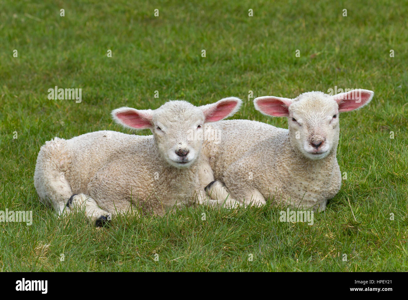 Two white lambs of domestic sheep lying side by side in meadow - Stock Image