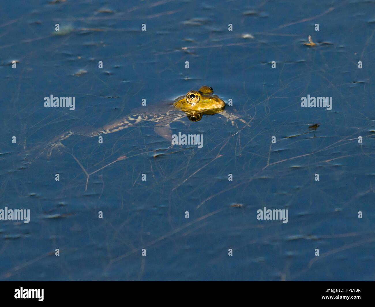 common water frog, Pelophylax kl. esculentus Pelophylax 'esculentus' or Rana 'esculenta', Rosenheim - Stock Image