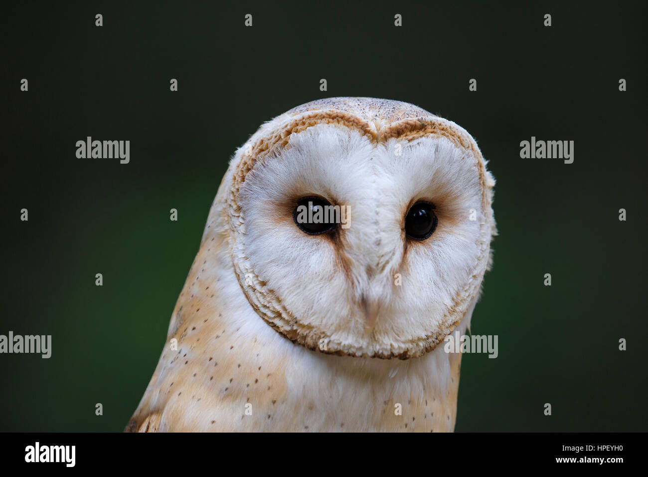 Barn owl (Tyto alba) close up portrait showing prominent facial disc - Stock Image
