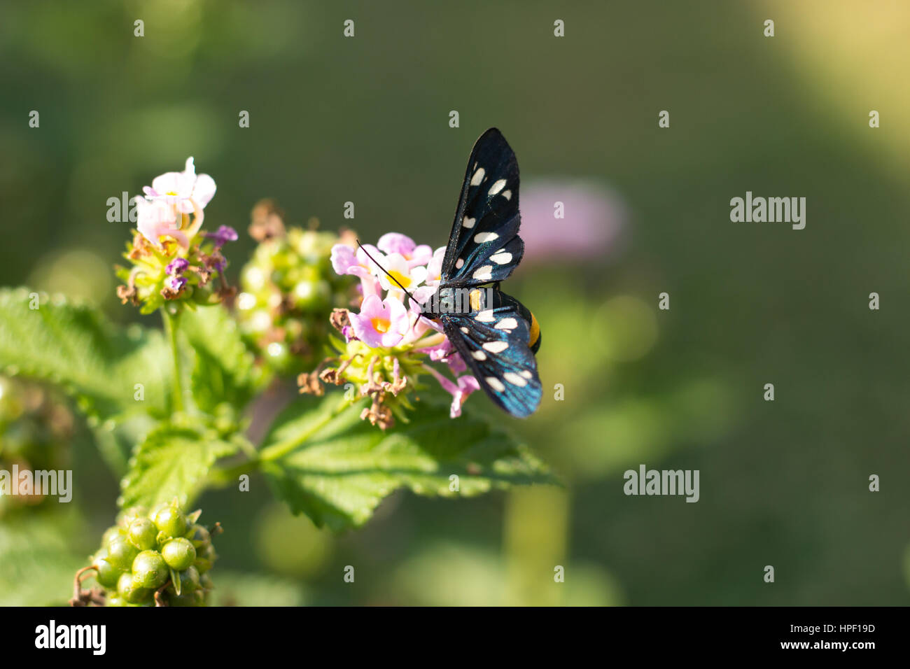 Syntomis Phegea on Flowers - Stock Image