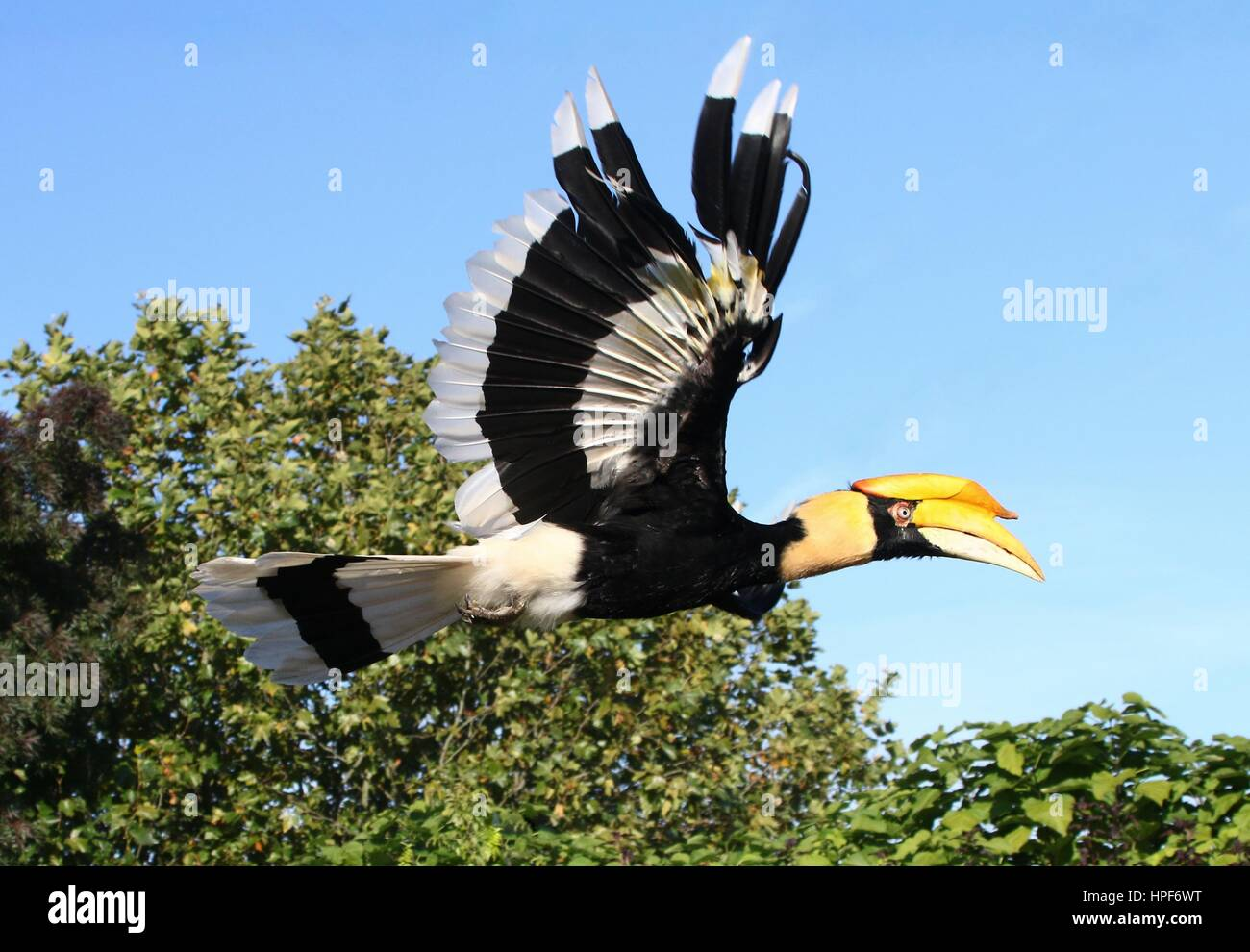 Great Hornbill High Resolution Stock Photography And Images Alamy