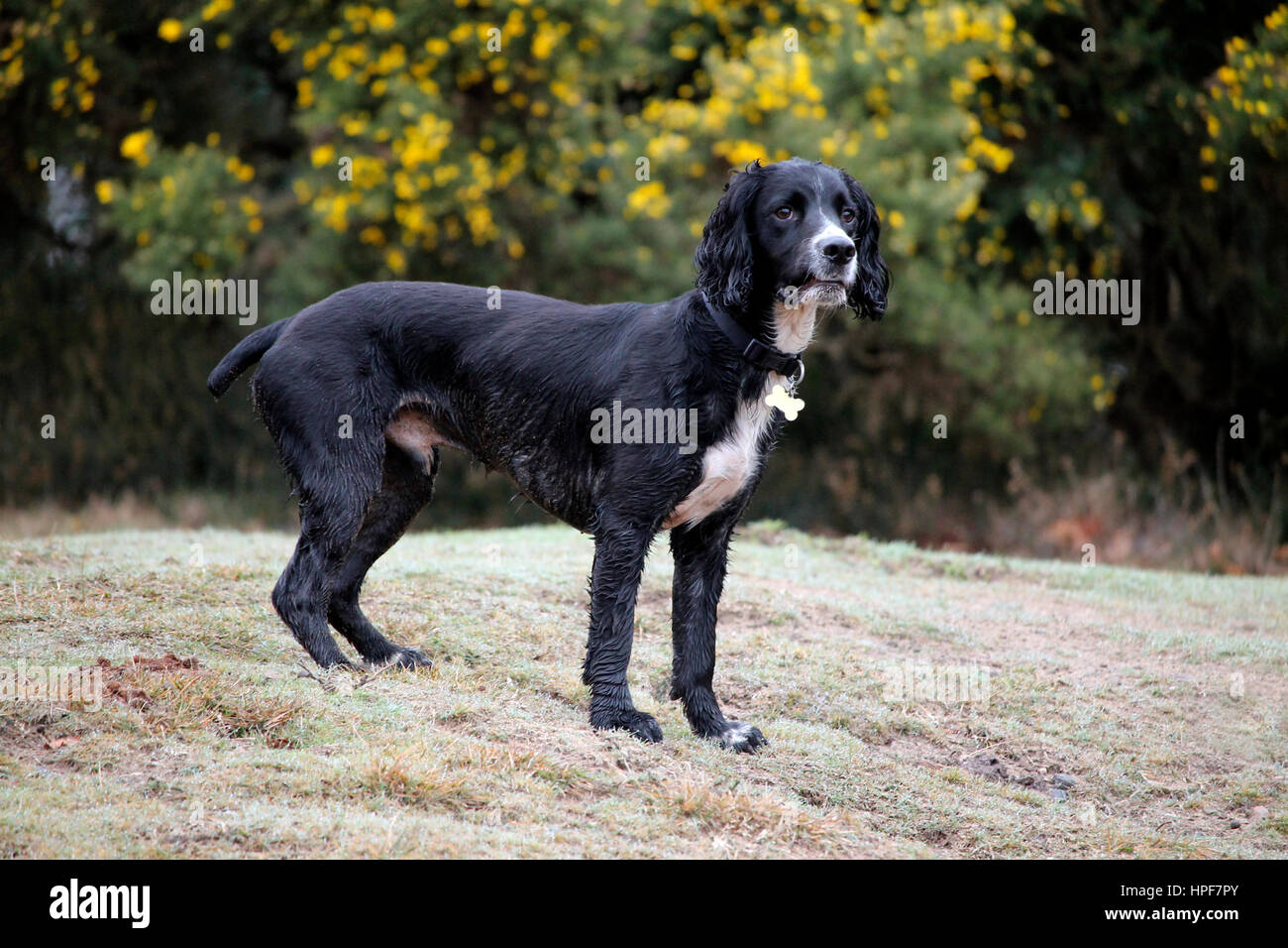 Black and white dog in a field - Stock Image