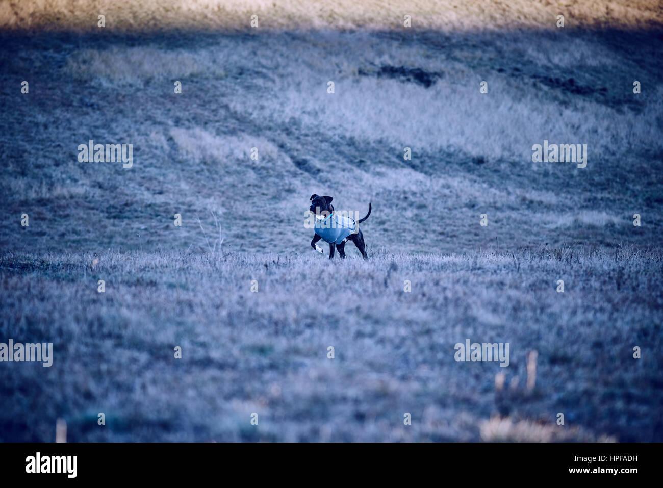 obedient pitbull - Stock Image