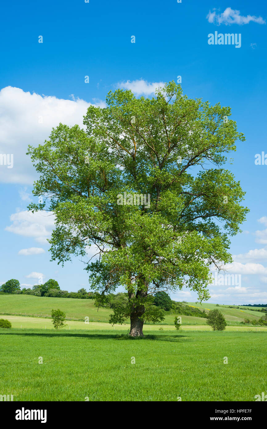 Black poplar (Populus), Bavaria, Germany - Stock Image