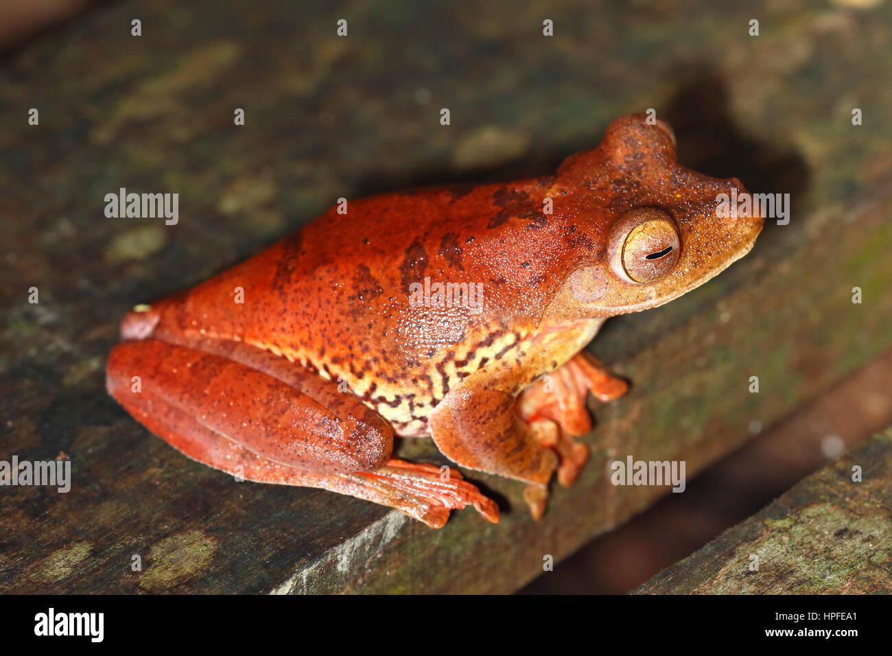 Harlequin tree frog (Rhacophorus Pardalis), Kubah National Park, Sarawak, Borneo, Malaysia - Stock Image