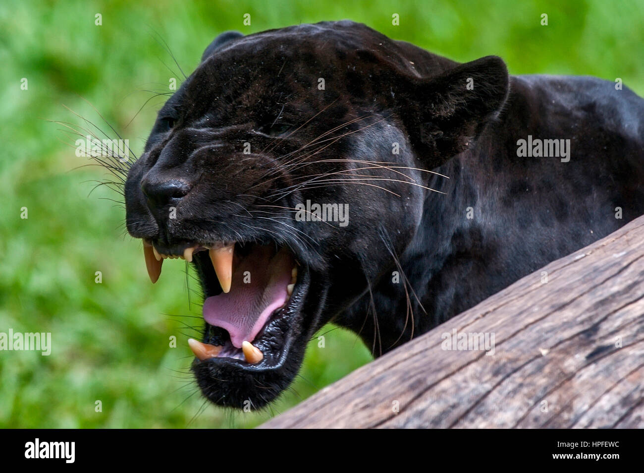 Male Black jaguar (Panthera onca), also called Panther, is a melanic variation of the jaguar. It's kind of carnivorous Stock Photo