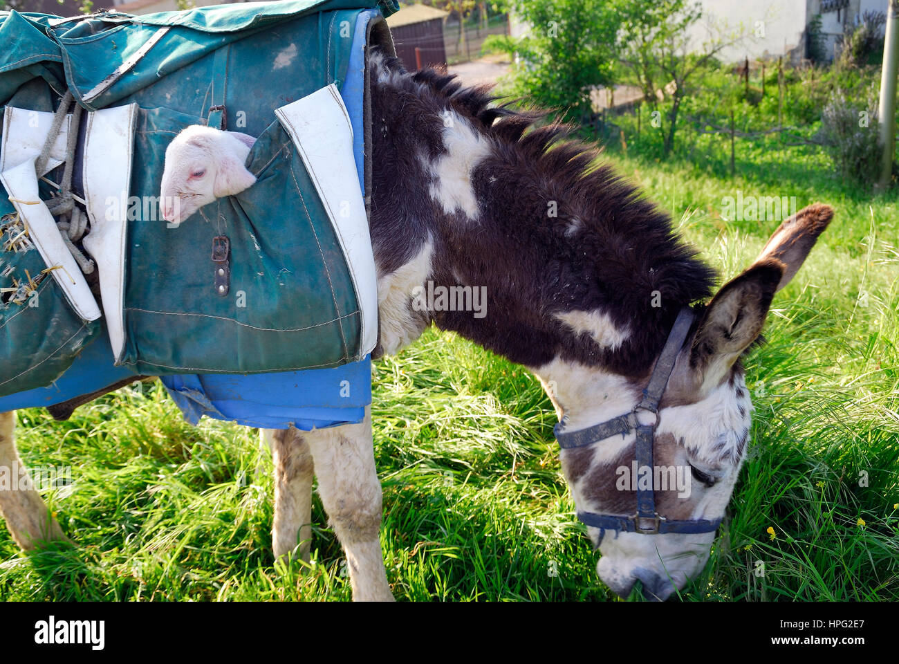Veneto, Italy. Donkey with a lamb in his saddle bag during the transhumance. A transhumant flock of sheep, on its Stock Photo
