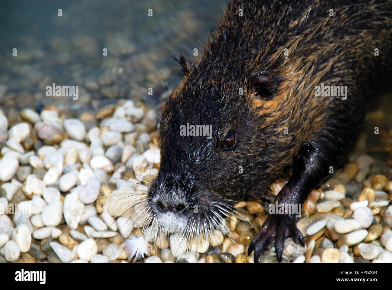 The coypu, Myocastor Coypus, also known as the river rat or nutria, is a large omnivorous semiaquatic rodent. The - Stock Image
