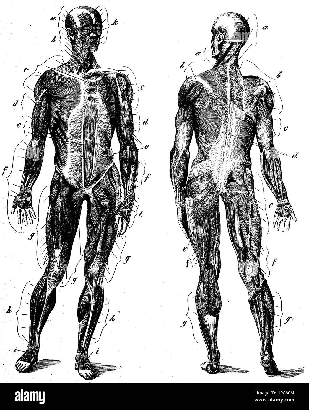 Muscular System Black and White Stock Photos & Images - Alamy