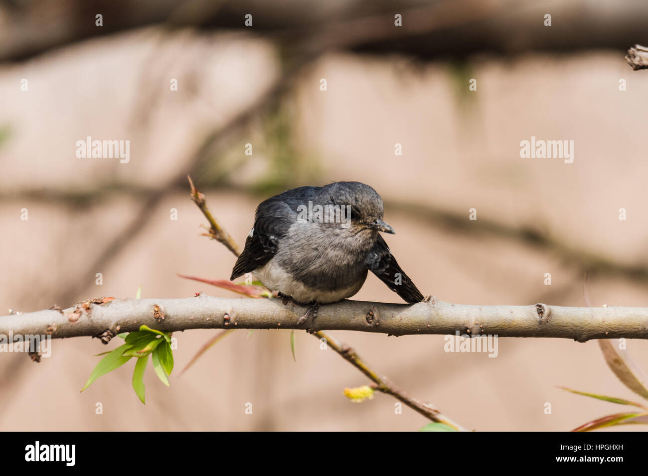 Female Magpie-Robin perched and staring - Stock Image