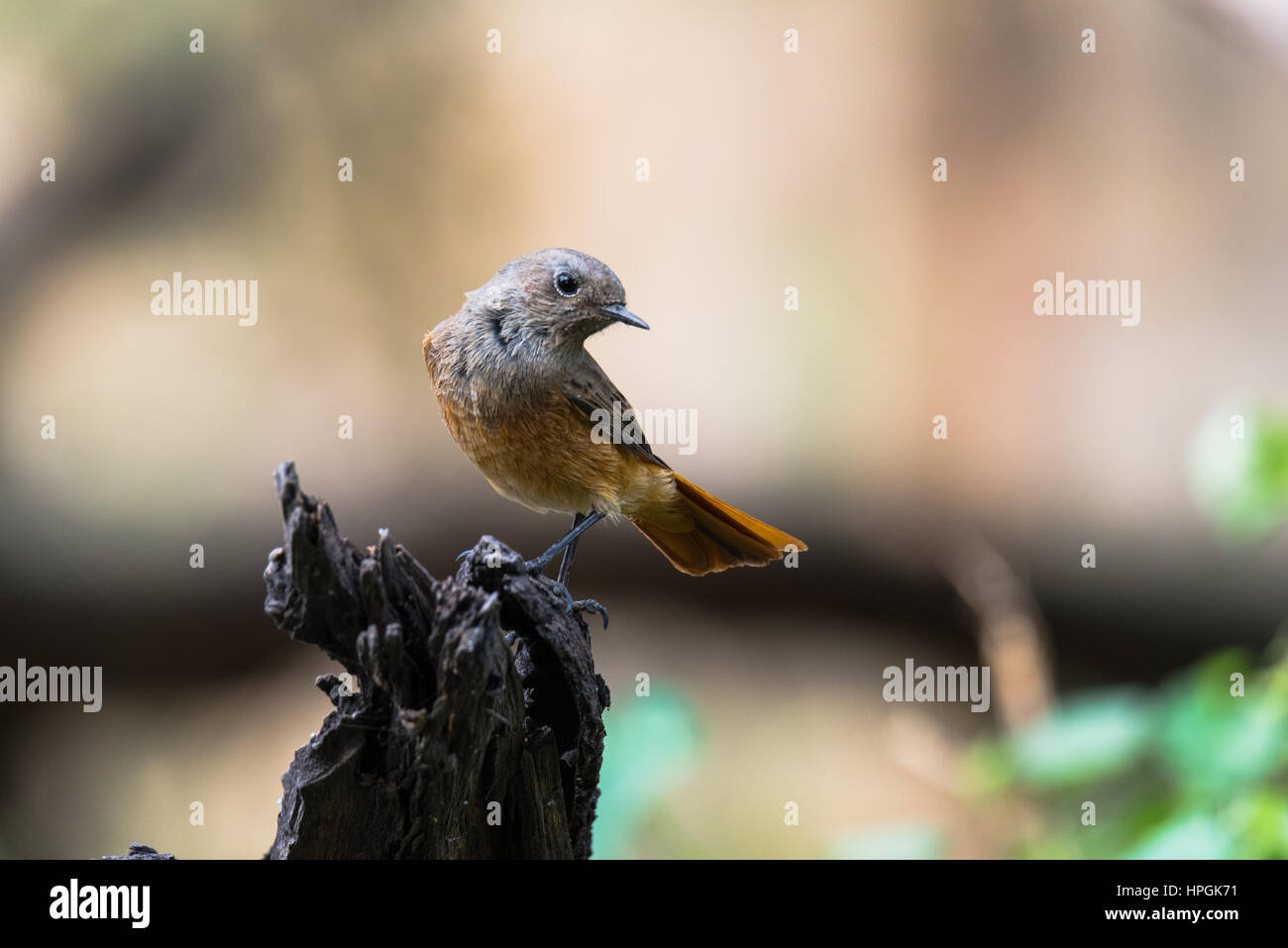 Black redstart a small passerine birds and a migratory birds perched - Stock Image