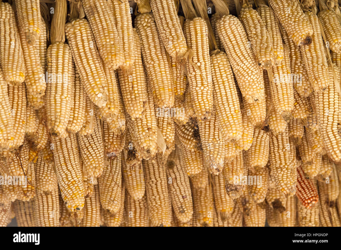 Corn cobs are hanged outside house for traditional natural air drying - Stock Image