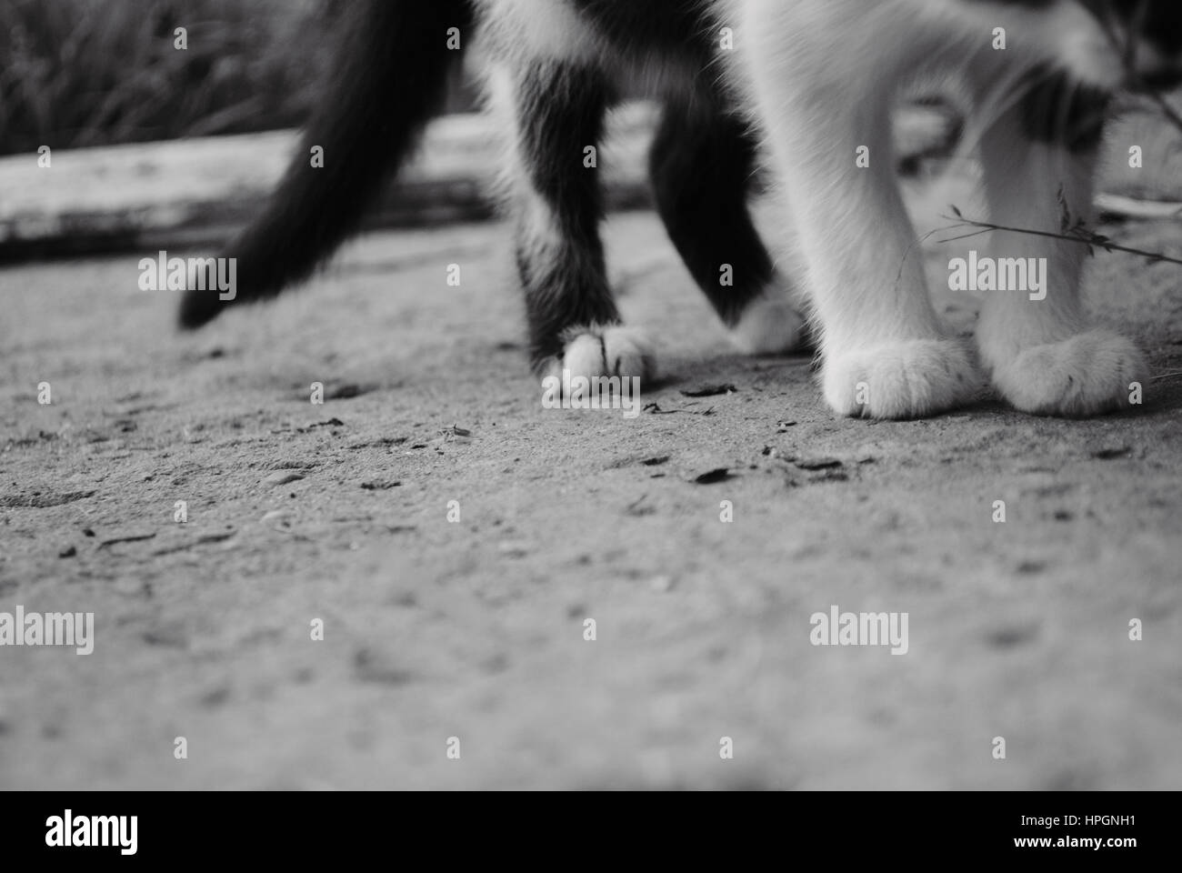 Stealthy cat, bw photo of cats paws. - Stock Image