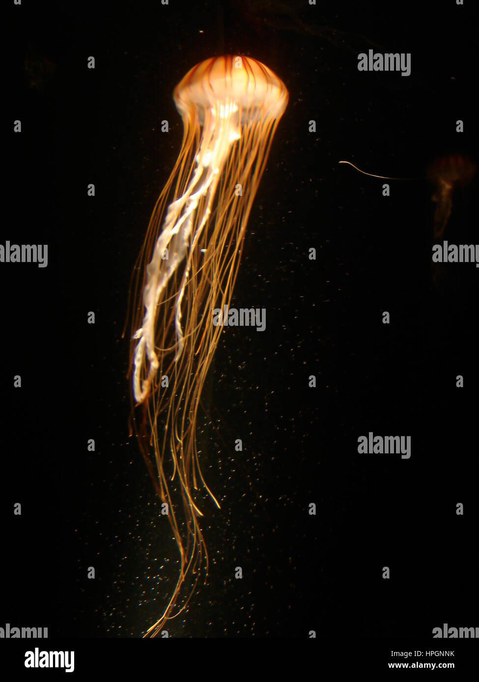 Jellyfishg swimming at night Stock Photo