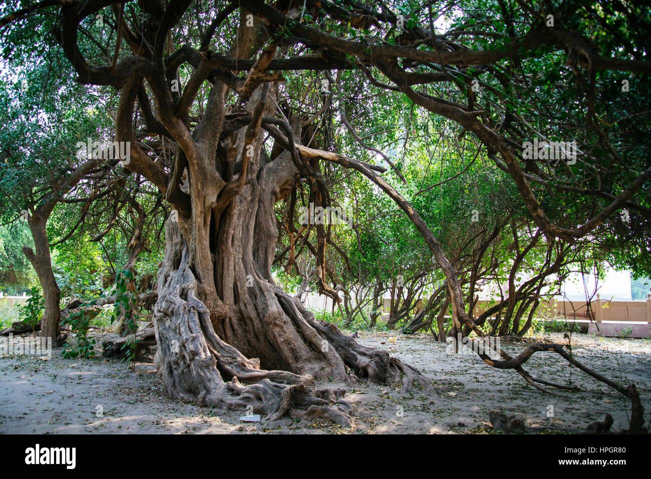 Ancient forest grove, Vrindavan, India. Stock Photo